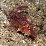 Ambon-Scorpionfisch