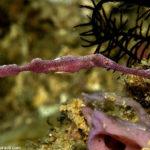 Velvet Geisterpfeifenfisch
